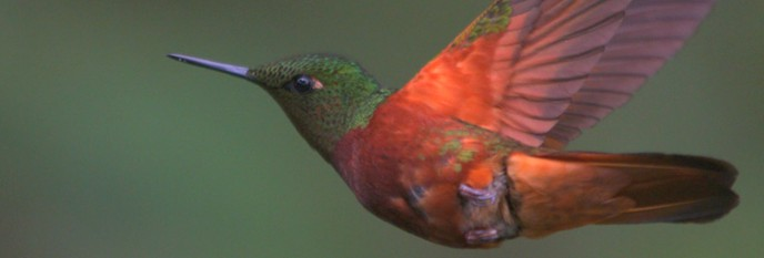 From Sexy Maneuvers to Great Migrations, High-Speed Cameras Reveal Hummingbird Secrets