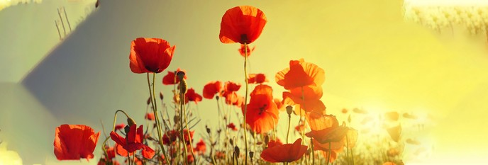 A History of Poppies: How One Flower Advanced Medicine (and Fueled the Opioid Epidemic)