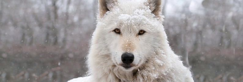 Pack Hunters of the Far North: How Arctic Wolves Struggle to Survive and Thrive