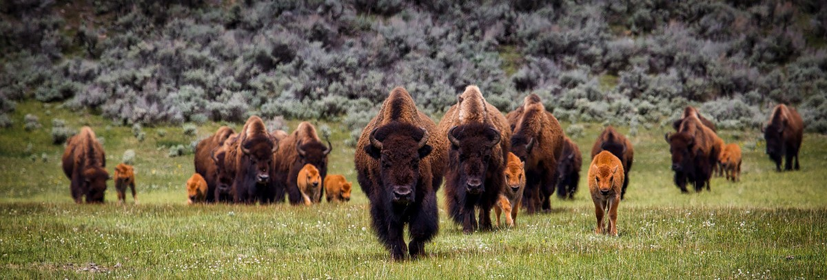 Reviving the American Bison – An Old Icon Returns to a New West