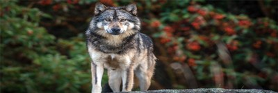 Takaya the Sea Wolf: A Story of Evolution and Climate Change