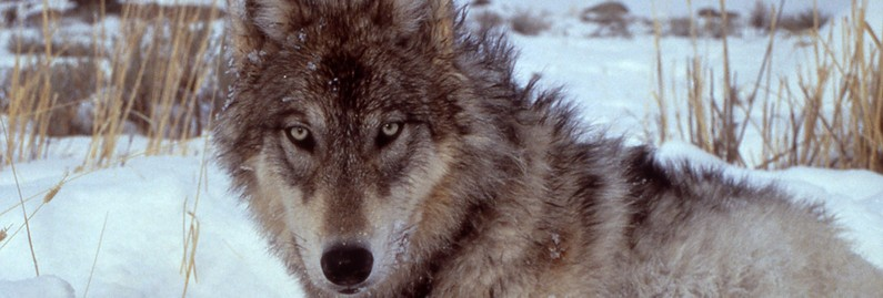 The Remarkable Return of the Wolf to Yellowstone National Park