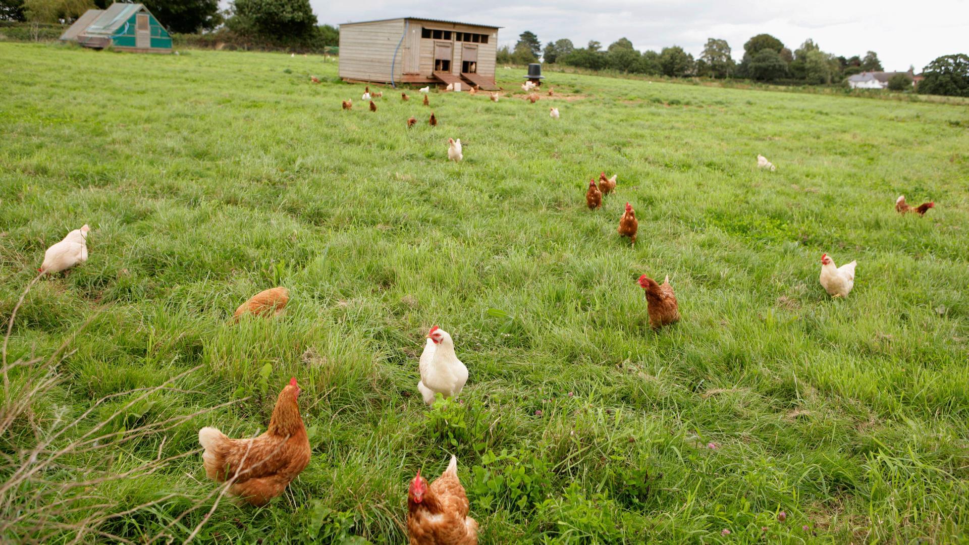 Free range chickens in pasture