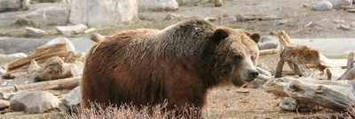 How to Survive the Return of the Grizzly Bear – and Why You Should Want To