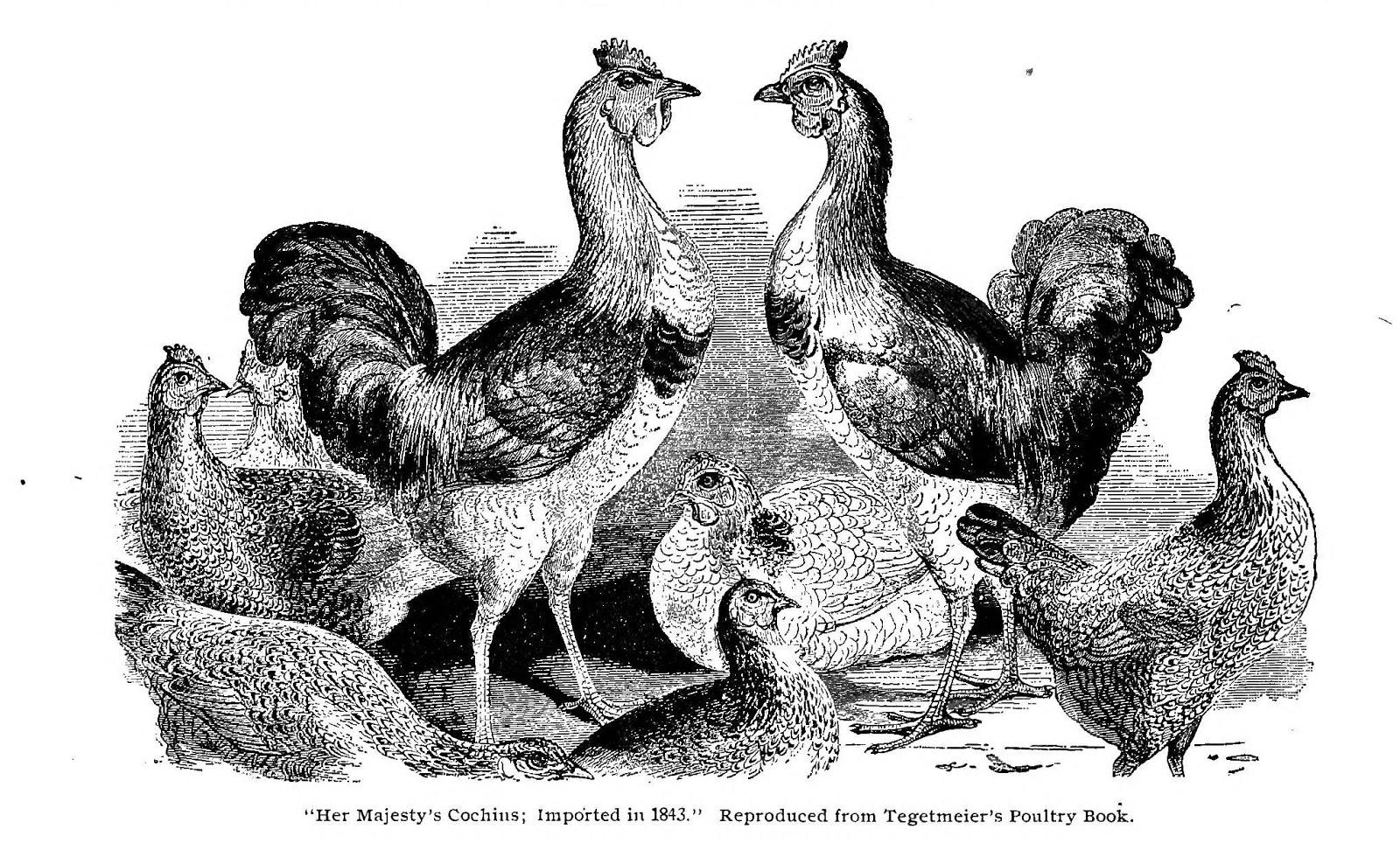 Victorian drawing chickens