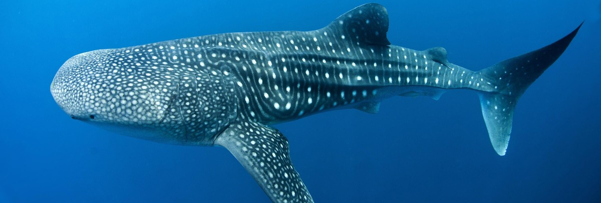 Whale Sharks: Why the World's Biggest Fish is in a Struggle For Survival