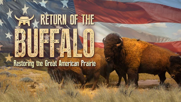 Return of the Buffalo: Restoring the Great American Prairie