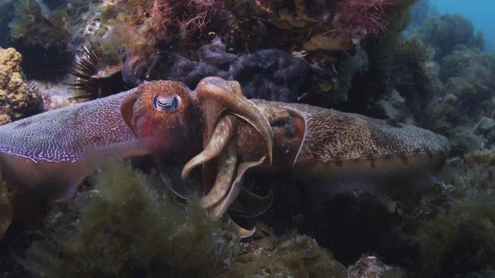 Giant Cuttlefish 4K