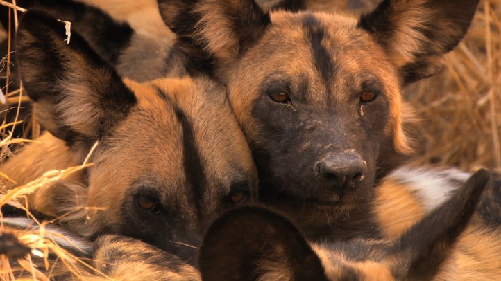 The Curse of the African Hunting Dogs