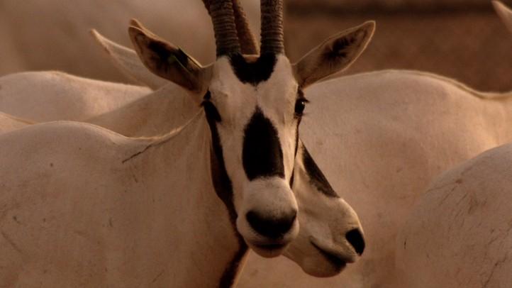 Oryx Evacuees