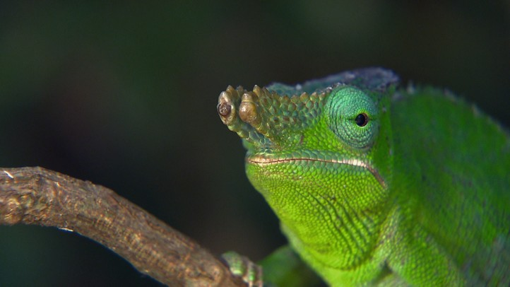 Chameleons around the World