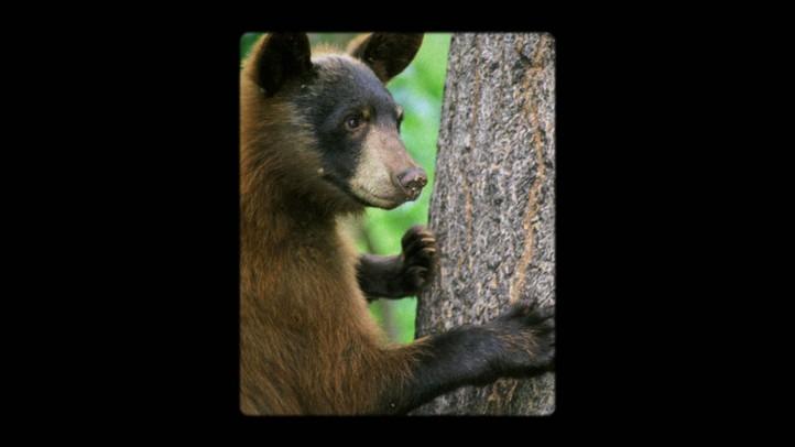 Bearilla