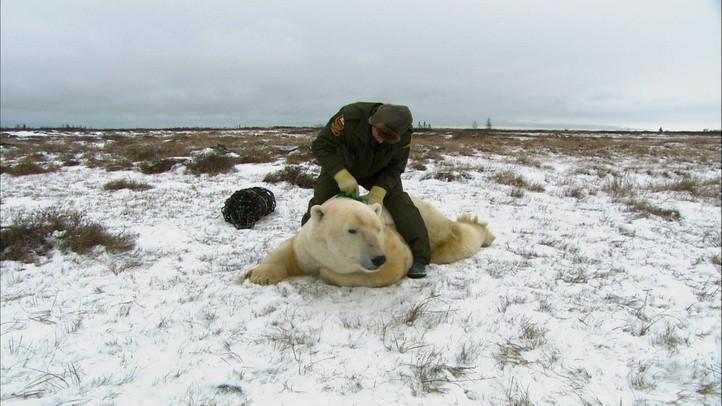 Polar Bear Alert Agent