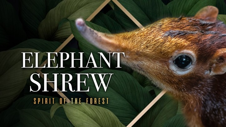Elephant Shrew: Spirit of the Forest