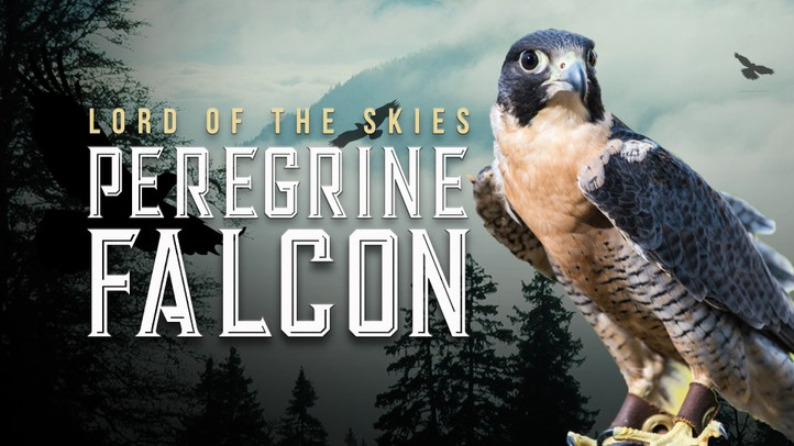 Peregrine Falcon: Lord of the Skies - 4k