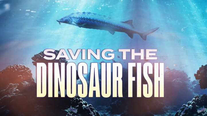 Saving the Dinosaur Fish