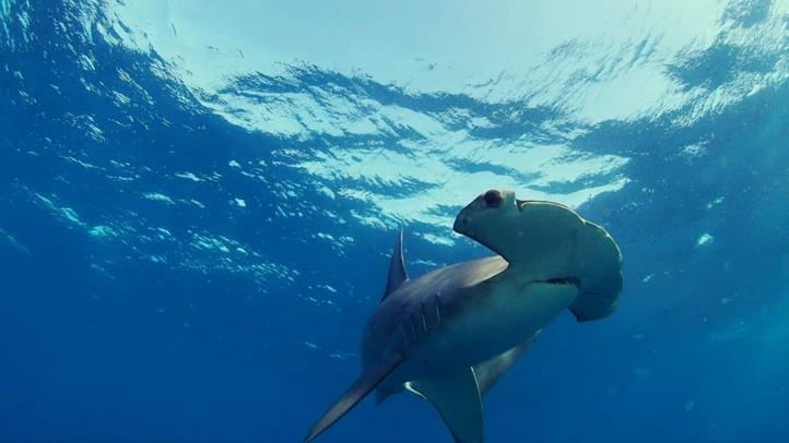 Smooth Hammerhead Sharks