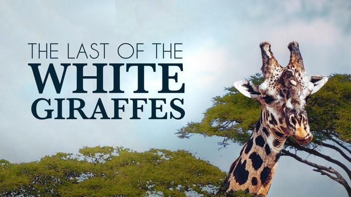 The Last of the White Giraffes